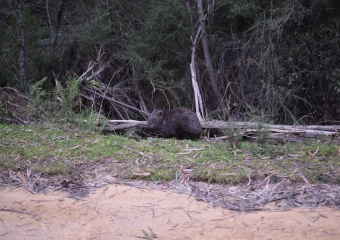 Vic-Trip_Buldah-wombat-DSC_0196 - cropped