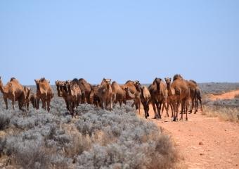 Mundrabilla_DSC_0191-mundrabilla-camels