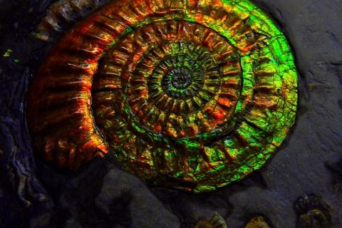 web-ammonite - ammolite