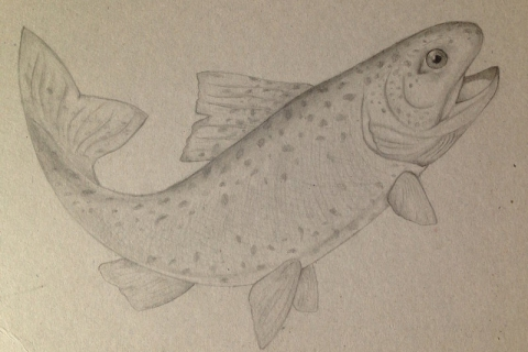 ceruleansketchcat_trout_drawing