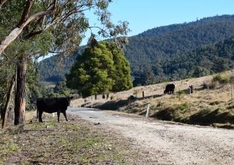 Vic-Trip_Combienbar-cows-DSC_0735