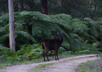 Vic-Trip_Errinundra-Sambar-deer-stag-DSC_0849-zoomed