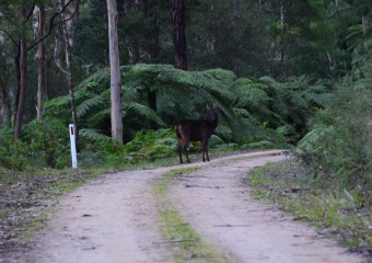 Vic-Trip_Errinundra-Sambar-deer-stag-DSC_0849